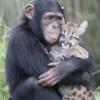 добрая шимпанзе