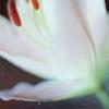 stock → white lily