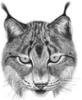 domestic_lynx
