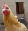 blue_chicken userpic