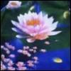 dawn_lotus userpic