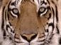 pouncing_tiger userpic