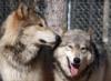 Argus Reya Wolves