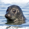 harbor seal -- from meathiel