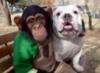 шимпанзе сбульдогом