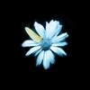 noobianrose: Fringe daisy