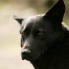 собака Павлова