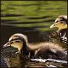 Racing ducklings
