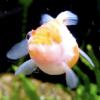 one eyed goldfish