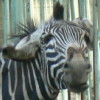 зебра с ушами