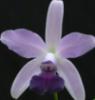 Cattleya Blue