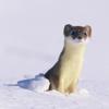 Weasel in snow