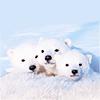 polar bears snow