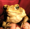 toad, australia