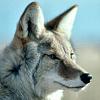 pyewolf userpic
