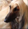 afghanhound userpic