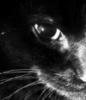 black, Cat
