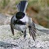 hopping bird