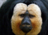 чудо-обезьяна