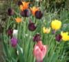 Tulips rainbow