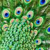 Bizar: peacock