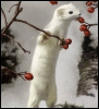 little_ermine
