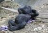 девочка-горилла