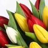 arwensong: tulips