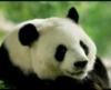 panda3919 userpic
