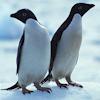 J.K. Cornah: Misc: Penguins