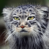 pallas cat - chagrin