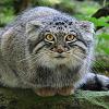 pallas cat - meep