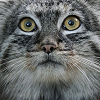 pallas cat - *catface*