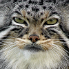 pallas cat - is hates you