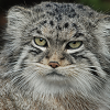 pallas cat - blue steel