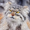 pallas cat - intrigued