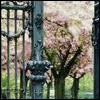 Garden gate and blossoms