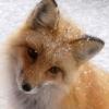 foxy_lolka