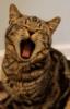 yawning, kitten