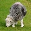 cheryl_bites: Sheepy
