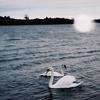 swan_