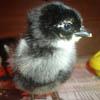 Des: Black Copper Marans Chick