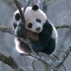 Gary: panda 01