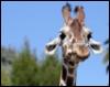 жираф видит все