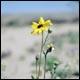 цветущий в пустыне, кактус