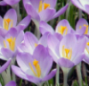 3treekisser: Crocuses