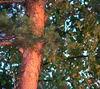 fenyőfa2