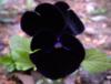 бархатный цветок