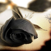 black rose - rainbowgraphics