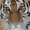 layla_aaron: Inner tigress (me)
